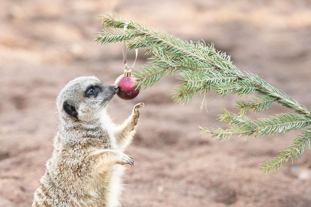 Tree-mendous Christmas treats for Safari Park Meerkats